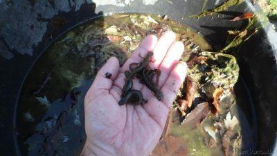 Salamanders Navicula 001