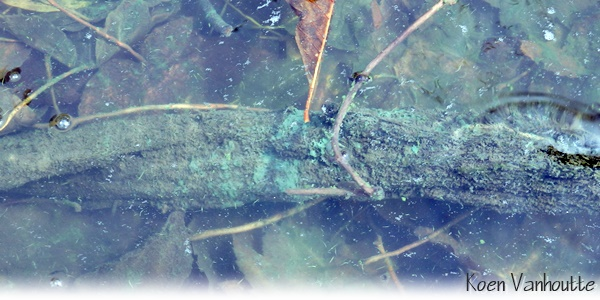 blauwalgen #toxicbloom koen vanhoutte neurotoxines Navicula Vijverstofzuiger zwemverbod recreatieverbod