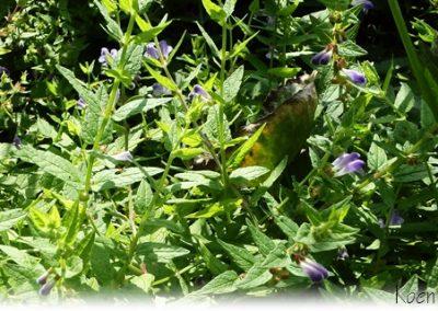 Blauw Glidkruid in Plantenfilter