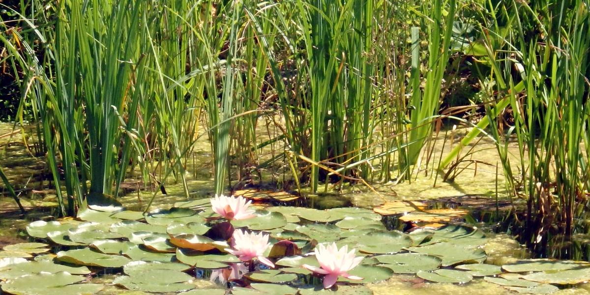 Waterlelies uit de Monet Schilderijen
