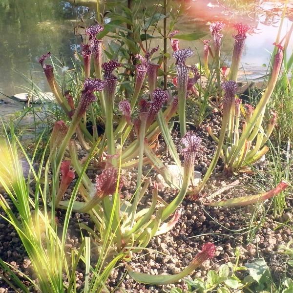 Sarracenia farnhannii, vleesetende moerasplant.