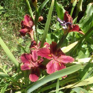 Louisiana Iris Ann Chowning Variant in Bloei.