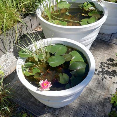 Waterlelie Nymphaea Escarboucle in bloei in ons Otium terrasvijvertje.