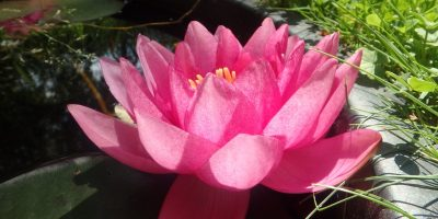 Nymphaea James Brydon in bloei in onze waterlelie tobbes 'lily in the lawn'