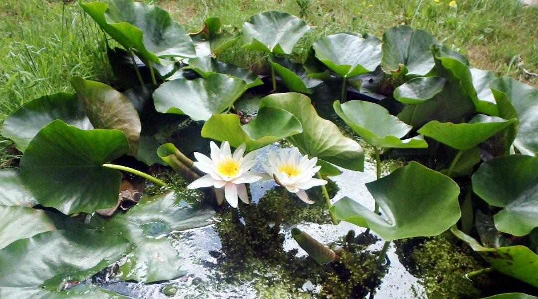 Hoe kan ik waterlelies in mijn tuin aanplanten?
